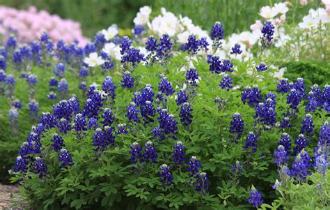 lady bird johnson bluebonnet bluer than blue agrilife today