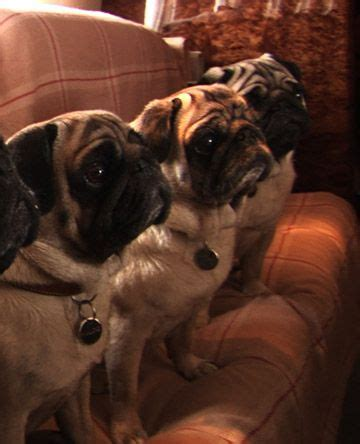 pug documentary 3750 best images about pugs