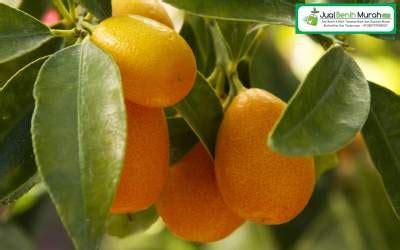 Bibit Jeruk Nagami Berbuah jeruk nagami berbuah jualbenihmurah