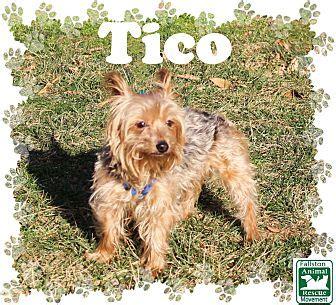 yorkie rescue in maryland fallston md yorkie terrier mix meet tico a for adoption