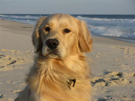 show me a golden retriever show your golden retriever the hull boating and fishing forum