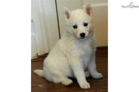 free husky puppies near me siberian husky puppy for sale near columbia south carolina 7b7ae909 6d41
