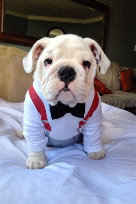bulldog puppie 49 best images about bulldog puppies on running of