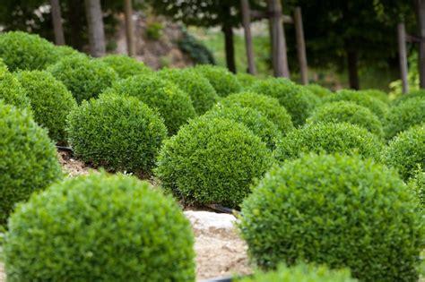 Buchsbaum In Form Schneiden 2025 by Formschnitt Bei Buchsb 228 Umen Gartenzauber