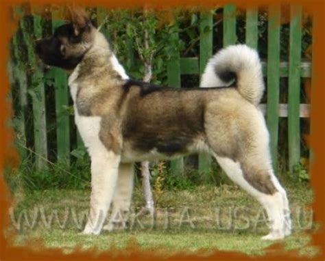 akita colors akita coat colors pictures to pin on pinsdaddy