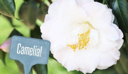 significato dei fiori camelia significato dei fiori la camelia perch 232 232 il fiore degli