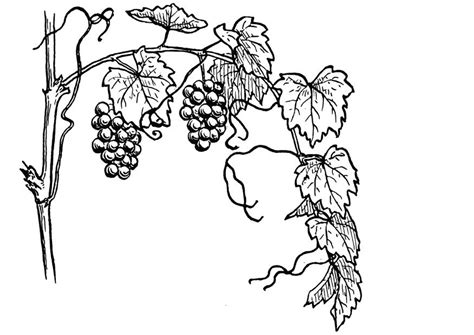 coloring page of grapes on a vine coloring page grape vine img 13075