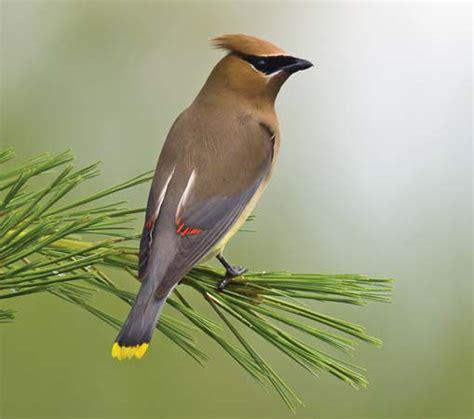 waxwing bird britannica com