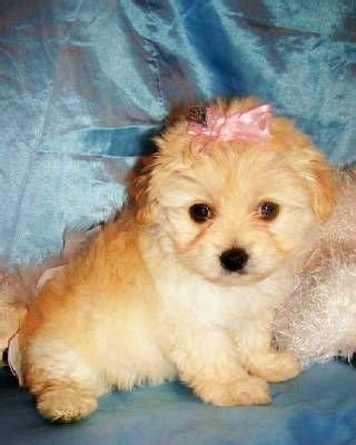 free puppies sacramento ca hybrid maltipoo designer puppies for sale adoption from sacramento california adpost