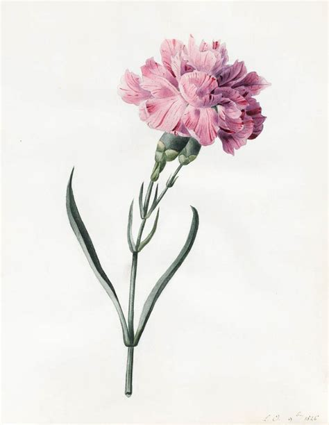 drawn carnation watercolor pencil and in color drawn