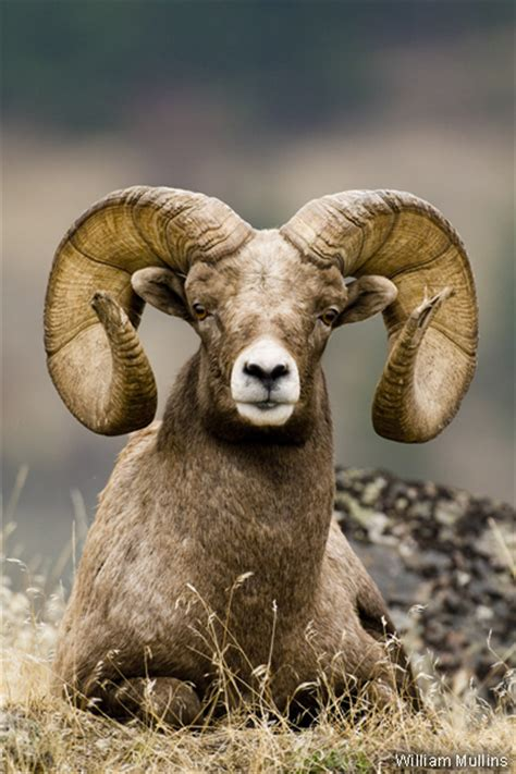 new year animals ram photo of the week rocky mountain bighorn sheep national