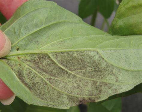 Chilli Plant Diseases - plants 171 extension master gardener