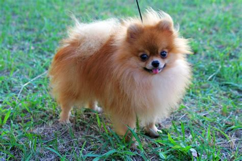 can pomeranians live outside pomeranian breed guide learn about the pomeranian