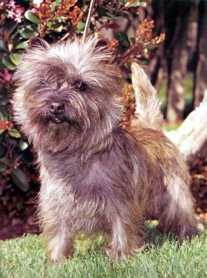 cairn terrier puppies ohio 17 best images about cairn terriers on pillows terrier puppies and puppys
