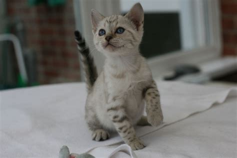 blue eyed snow bengal kitten 3 months old youtube playful blue eyed snow bengal kittens ped reg