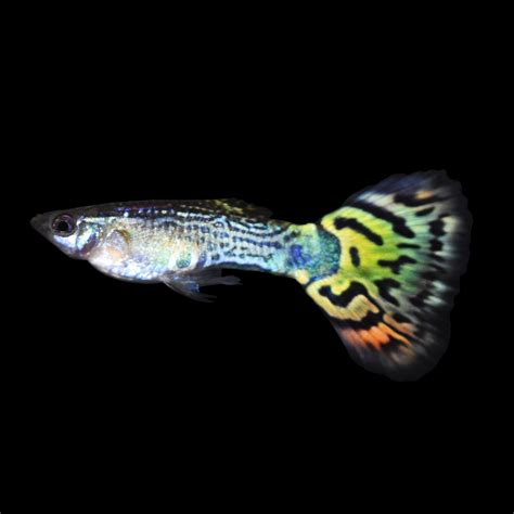 guppies colors assorted fancy guppies aquarium fish guppy and