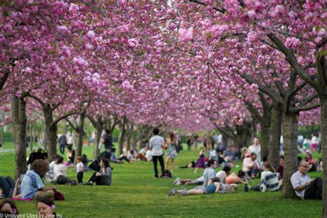 cherry blossom botanical garden maps botanic garden cherrywatch tracks bloom