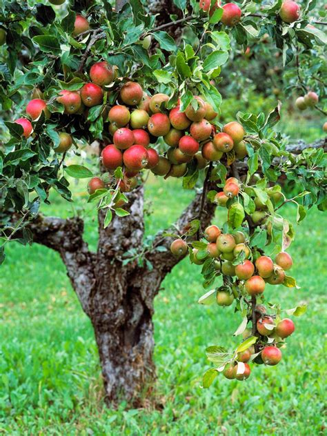 vertical fruit trees plant a tiny orchard fruit trees hgtv and plants