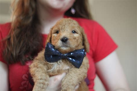 puppy finders puppies for sale goldendoodle puppy pictures goldendoodles auto design tech