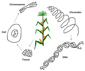 Genetic Modification Dictionary by Genetic Engineering Genetic Intervention