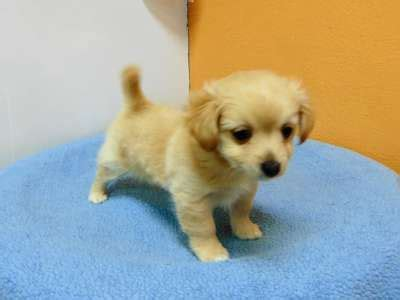 maltese pomeranian mix price pomeranian chihuahua mix los angeles pico rivera dogs puppies for sale puppies