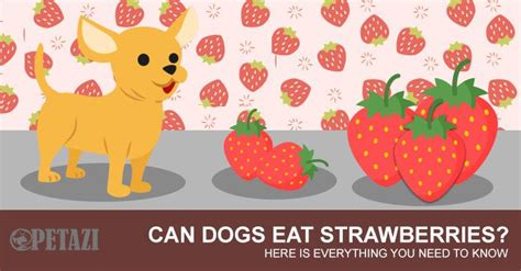 can puppies strawberries can dogs eat strawberries best answer can be found here petazi