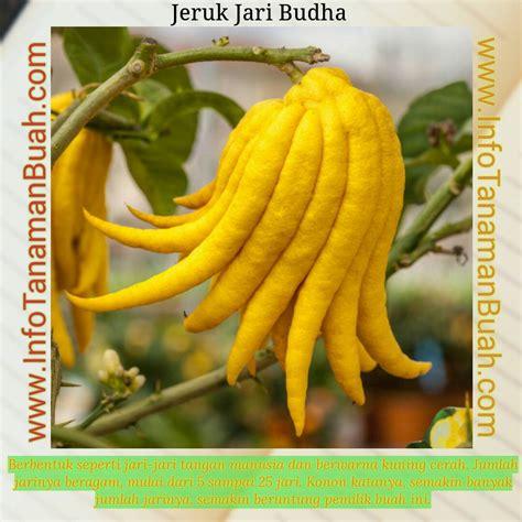 Jual Bibit Buah Lemon lemon jari budha si jeruk lemon unik kaya manfaat