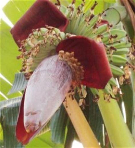 wallpaper bunga pohon dan buah keistimewaan buah pisang dalam al qur an hafidhexza
