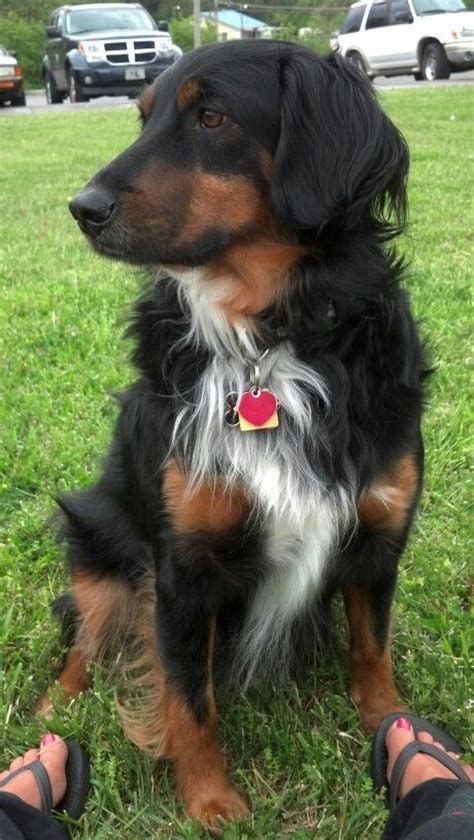 rottweiler border collie rottweiler collie mix this s hair definitely resembles my who is