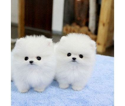 teacup pomeranians puppies for sale 25 best ideas about puppies for sale chicago on labradoodle for sale