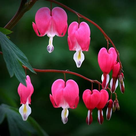 egrow 10pcs dicentra spectabilis seeds bleeding heart