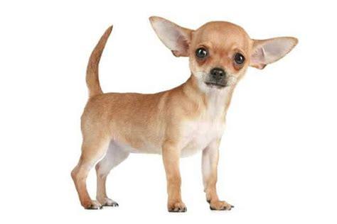 imagenes de animales juguetones las razas de perros mas peque 241 as del mundo dogalize