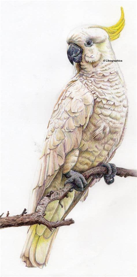Cockatoo Drawing