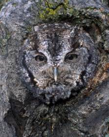 Tree Ground Blind Eastern Screech Owl Audubon Field Guide