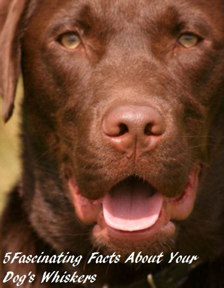 whiskers on dogs facts about whiskers daily discoveries