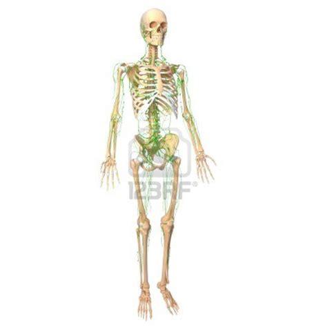 vasi linfatici gambe sistema linfatico