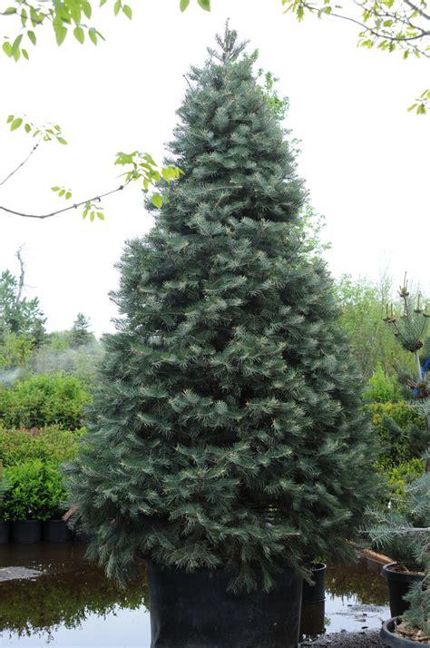 fir concolor white creekside tree nursery