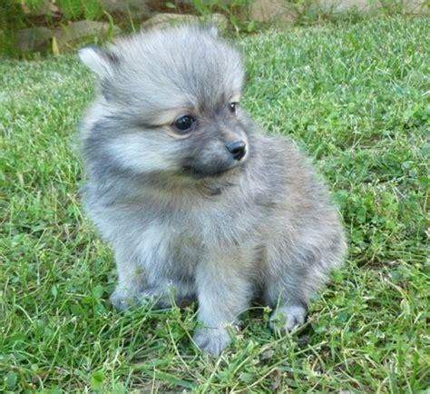 pomeranian puppies for sale in ta pomeranian sale ireland pomeranian puppies buy buy pomeranian breeders pomeranian