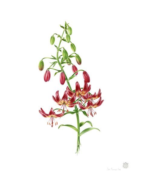 Gkm Watercolour 15th annual american society of botanical artists