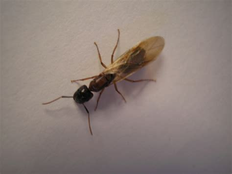 flying ants in house how to kill flying ants insects