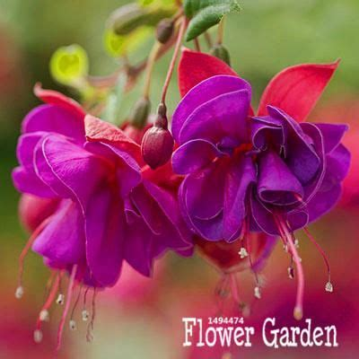 fresh seeds purple double petals fuchsia seeds potted