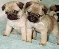 why does my pug everything 1000 images about teacup pug on teacup pug pug and pug puppies