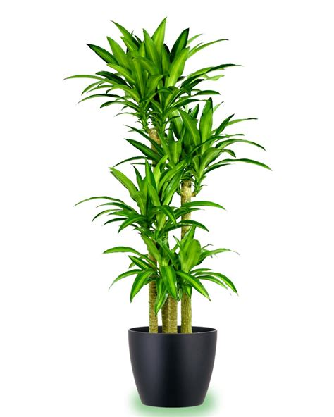 large indoor plants large potted corn plant indoor gardening pinterest