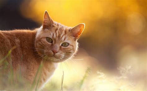 hd wallpaper of cat for mobile cat wide computer desktop hd wallpaper stylishhdwallpapers
