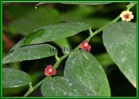 Benih Daun Katuk sekolah lestari anugerah alam sekitar tanaman herba