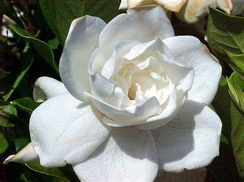 Gardenia Origin 25 Best Ideas About Gardenia Bush On Gardenia