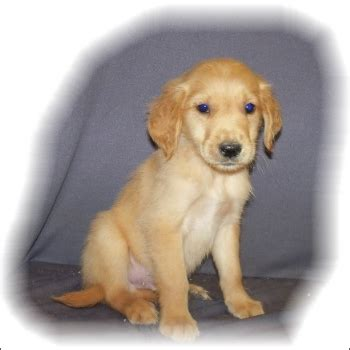 best golden retriever breeders east coast eastcoast puppies details