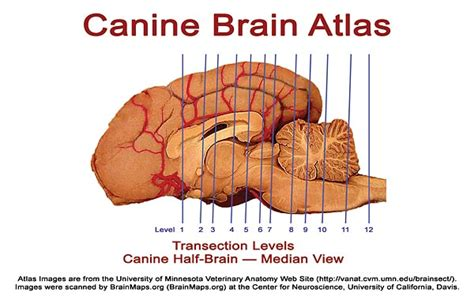 how big is a dogs brain canine brain atlas