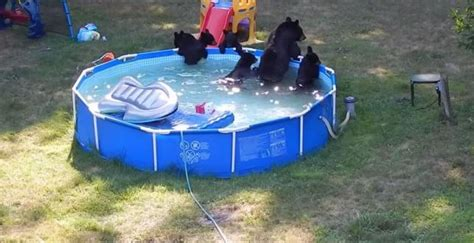bears cool in new jersey family s backyard pool