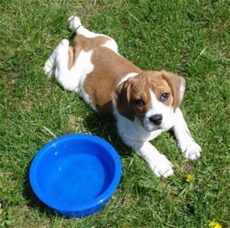beagle bull puppy beabull breed information and pictures